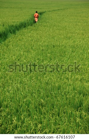A man wearing red dress walking through a paddy field - stock photo