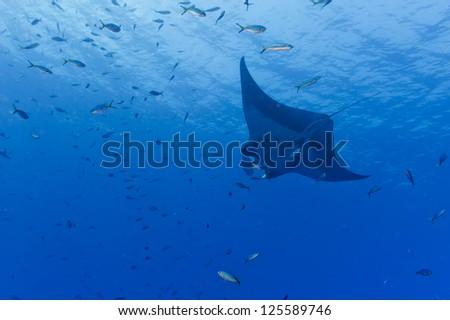 A manta in the deep blue ocean - stock photo