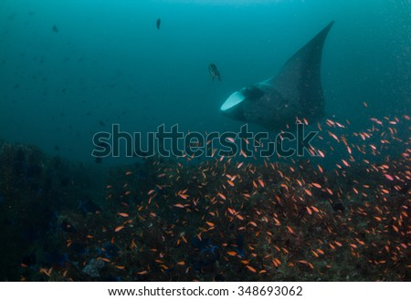 A manta ray gliding by a collection of brightly colored fish - stock photo