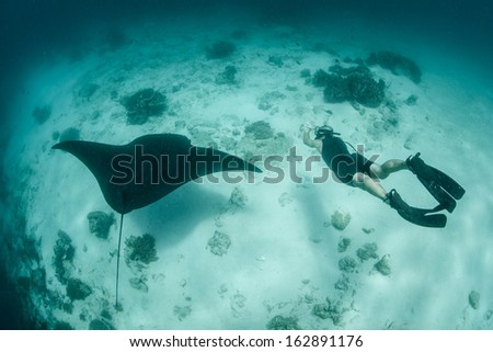A manta ray (Manta alfredi) swoops above a sand, rubble, and coral spit in Raja Ampat, Indonesia. Resident manta rays are often found at cleaning stations where fish remove parasites. - stock photo