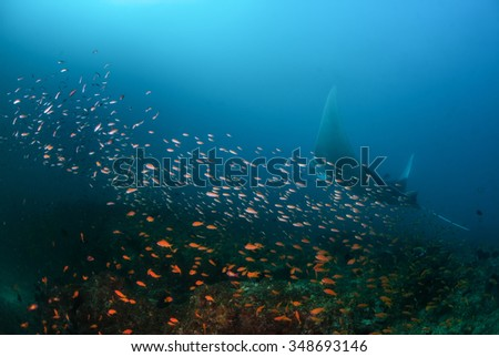 A manta ray swimming with a school of fish in blue water - stock photo