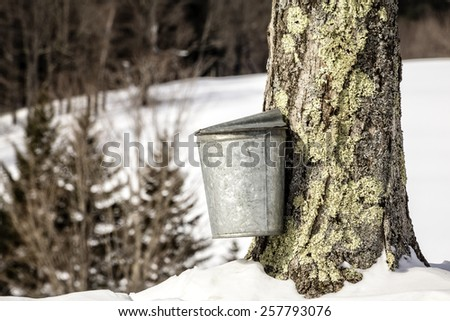 A maple tree being tapped for sap during the maple syrup season in Vermont. - stock photo