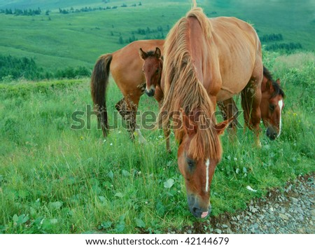 a mare, a stallion and a foal posie pasturing in a highland meadow - stock photo