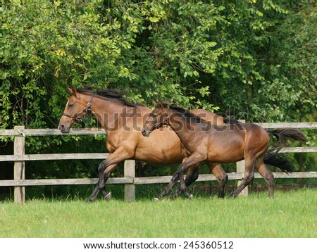 A mare and foal gallop through a paddock. - stock photo