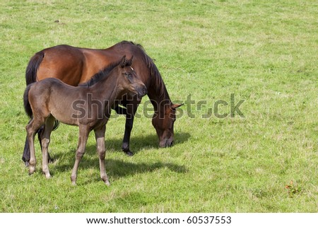 a mare and foal grazing in a summer pasture - stock photo