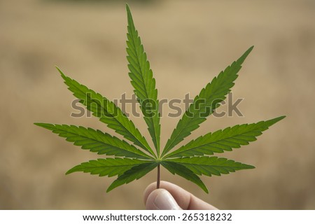 A Marijuana Leaf in a Man's Hand - stock photo