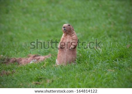 A Marmot Sitting on Grass - stock photo