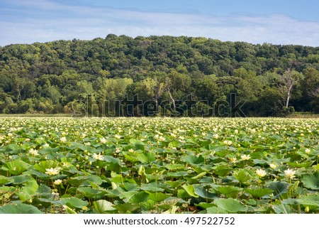 A marsh full of American lotus blooms with a tree covered hill in the background.
