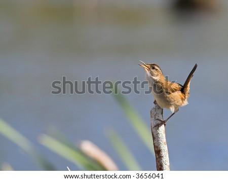 A marsh wren - stock photo