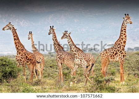 A Masai Giraffe (Giraffa camelopardalis tippelskirchi) is illegally shot in Kenya, Africa. The giraffe second from right can be seen instantly collapsing from a bullet to the heart (wound is visible). - stock photo