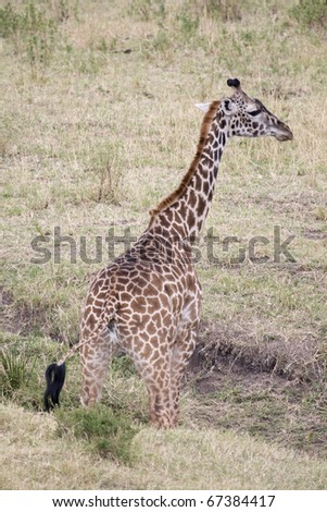 A Masai giraffe urinating on the plains of the Masai Mara.