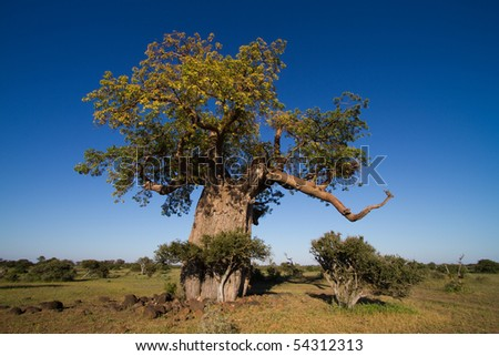 A massive baobab tree in Africa photographed in summer with leaves and a blue sky - stock photo