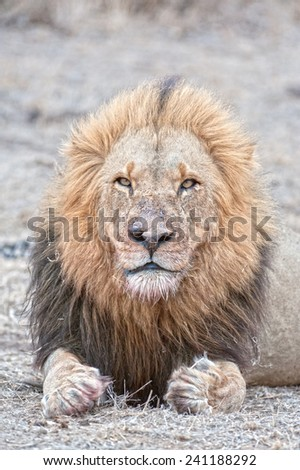 A Mature Male lion who has experienced life! - stock photo