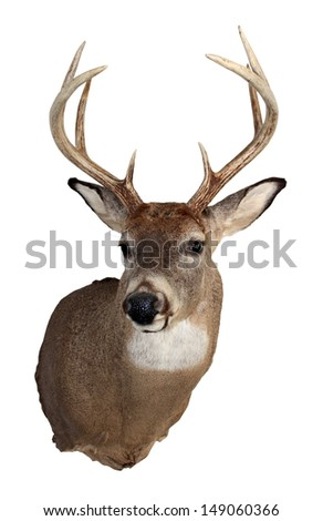 A mature white-tailed deer buck isolated on a white background. - stock photo