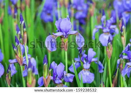 A meadow full of beautiful blue irises