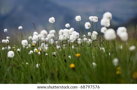 a meadow full of of cotton grass - stock photo