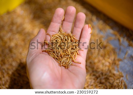A meal worm larvae on the hand - stock photo