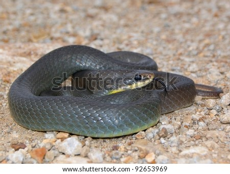 A mean looking snake similar to a black mamba - Eastern Yellow-bellied Racer, Coluber constrictor flaviventris - stock photo