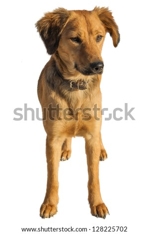 A medium size mixed breed stray dog isolated