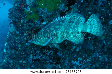 A medium sized Goliath Grouper next to the hull of a shipwreck. - stock photo
