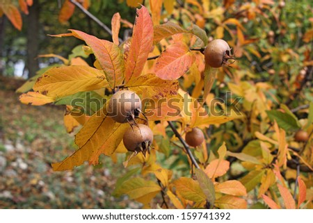 A medlar tree with ripe fruits in autumn  - stock photo