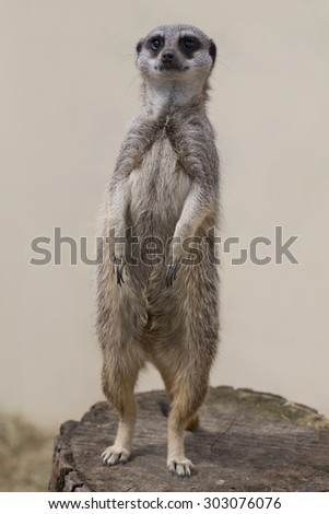 A meercat standing up against a plain background facing forward - stock photo