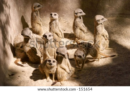 A meerkat conference... - stock photo