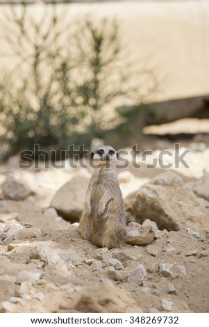 a meerkat, endearing animal that lives in desert areas - stock photo