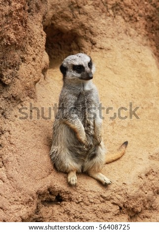 a meerkat on a dirt hill