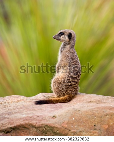 A meerkat perched on a rock - stock photo