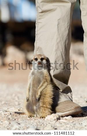 A meerkat sitting against a human's leg - stock photo