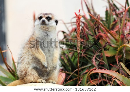 A meerkat, sitting on a rock near a succulent plant, looks around - stock photo