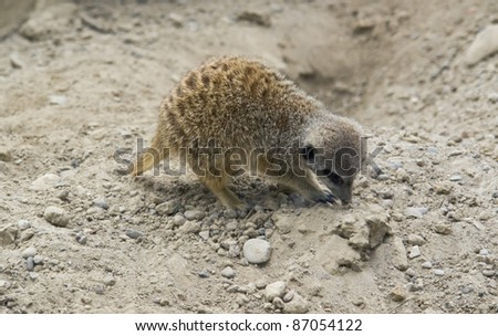 a Meerkat while digging on sandy ground