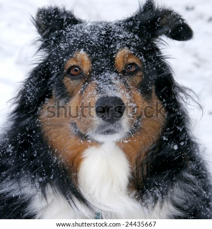 A member of the herding group, this playful dog loves the snow - stock photo