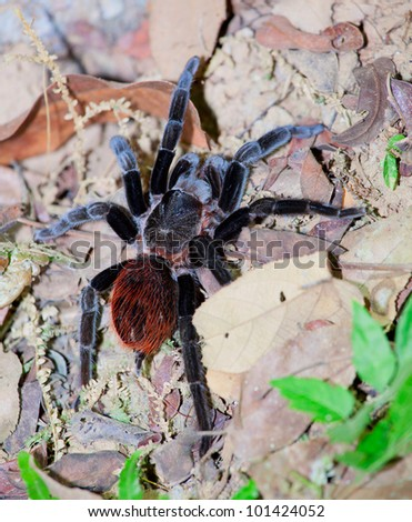 A Mexican red rump tarantula out hunting at night - stock photo
