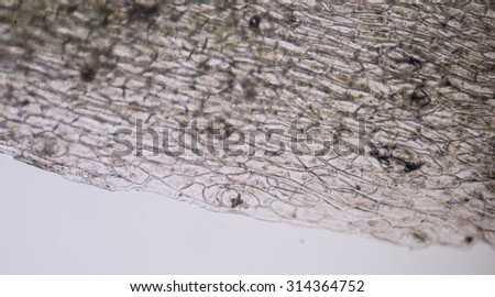 A microscopic view of the leaf surface showing plant cells. - stock photo