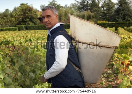 A middle age man harvesting grapes. - stock photo