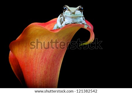 A milk tree frog on a orange flower - stock photo