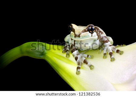 A milk tree frog on a white flower - stock photo