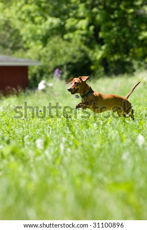 A miniature dachshund in mid stride, as he jumps through the tall grasses. - stock photo