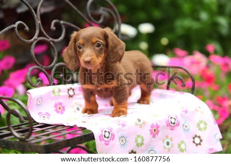 A Miniature Dachshund puppy stands on a black, wrought iron bench and watches something off camera. - stock photo