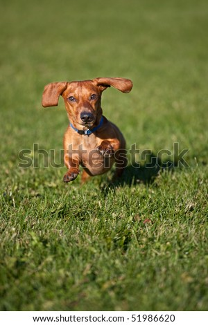 A miniature Dachshund running towards the camera, surrounded by grass. - stock photo