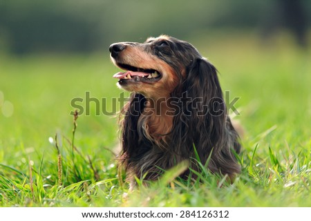 a miniature long haired dachshund