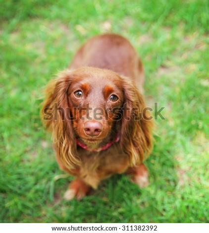 a miniature long haired dachshund with red coloring sitting in the grass in a local park  - stock photo