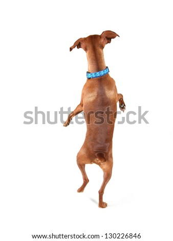 a miniature pinscher looking up - stock photo