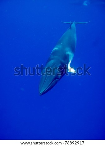 A minke whale in the blue