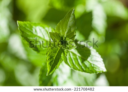 A mint plant growing in the garden. - stock photo