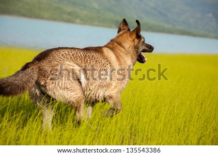 A mix-breed husky runs in a field next to lake - stock photo