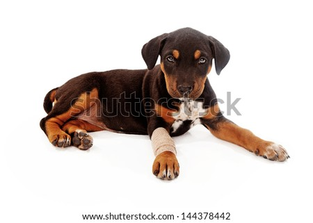 A mixed breed puppy laying down with a broken leg. Isolated against a white backdrop. - stock photo