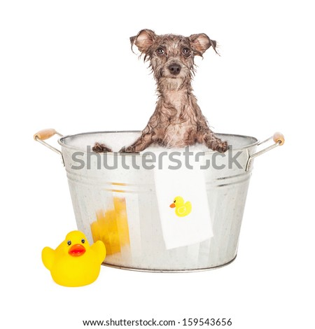 A mixed breed terrier dog with wet fur sitting in a steel bath tub with bubbles and a rubber duck - stock photo